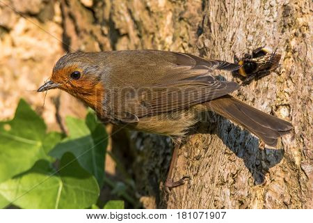 Robin (Erithacus rubecula) with prey in beak. Bird in family Turdidae gripping tree trunk with Opilionid prey and bumblebee (Bombus terrestris_