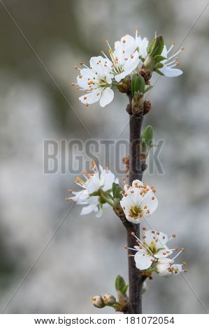 Blossom on blackthorn branch (Prunus spinosa). White flowers on shrub in the rose family (Rosaceae) abundant in springtime in the British countryside