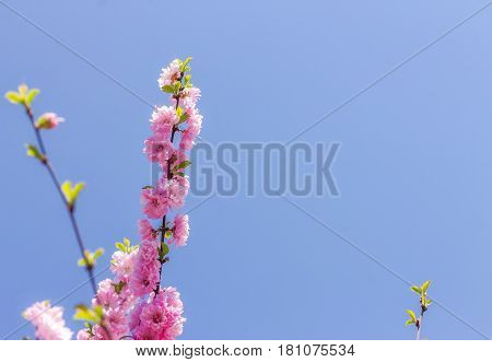 Branch of the Japanese cherry sakura blossoms.