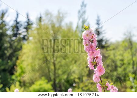 Branch of the Japanese cherry sakura blossoms.