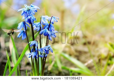 Spring floral background with first blue snowdrops and the bee flying to them. Seasonal spring blurred Easter backdrop with the Scilla Squill flowers and copy space. Selective focus.
