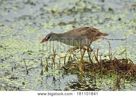 The White-browed Crake seek a food in the pond