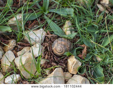 Single shell of grape snail in grass among rocks