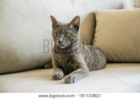 Russian blue cat, kitten sitting on the grey sofa.