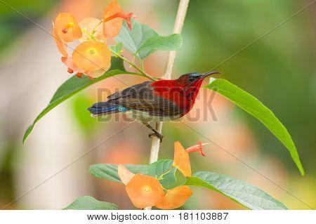 The crimson sunbird seek a food on the flower
