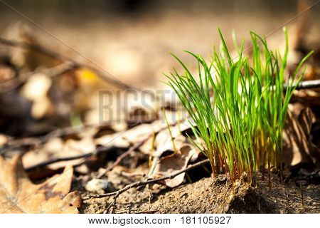 The grass breaks through the spring through the old leaves, nature
