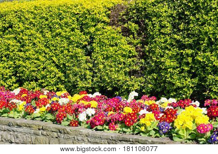 Row of coloured primroses below bright hedge