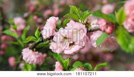 Soft Pink Japanese Cherry-tree Blossom