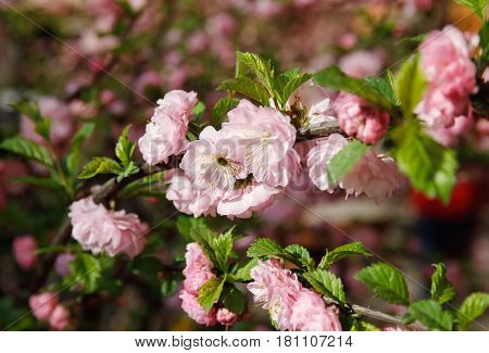 Soft Pink Japanese Cherry-tree Blossom.