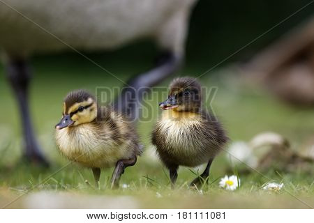 Close-up of Mallard ducklings (Anas platyrhynchos) with varying patterns