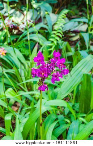 Closeup To Pathoglottis Plicata Blume Orchid/ Orchidaceae