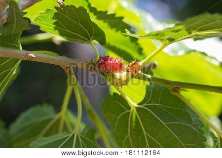 mulberry mulberry natural focus mulberry on branch with leafs mulberry with bokeh background. fresh organic mulberry fruit.