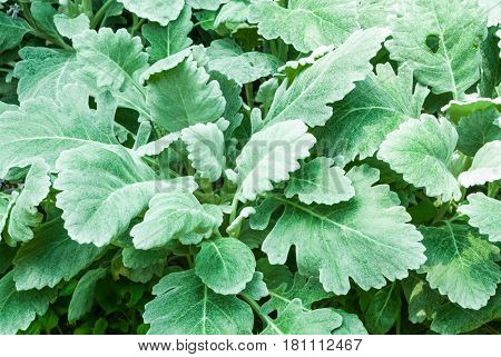 Closeup To Dusty Miller/ Senecio Cineraria Dc./ Asteraceae Leaves Background