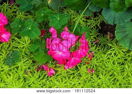 Closeup To Pink Impatiens Hawkeri W.bull./ New Guinea Hybrids/ Balsaminaceae