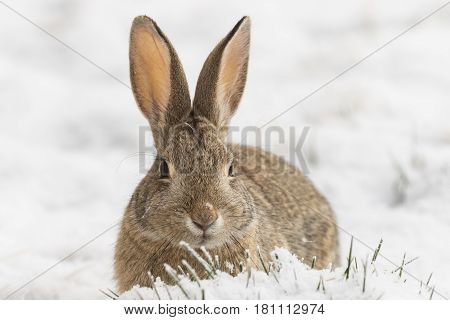 a cute cottontail rabbit after a winter snow