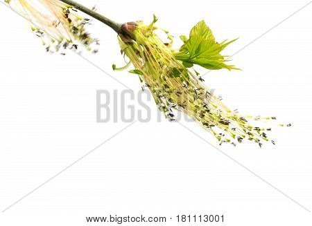 Flowering Spring Twigs Of Maple Tree With Young Leaves In Wind