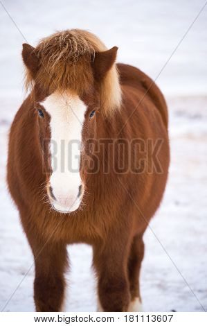 Icelandic horse in the snow meadow The breed is used for traditional shepherding work in country as well as for leisure showing and racing.