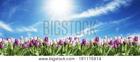 Happy Eastern pink and white Tulip grassland blue sunny sky greeting textspace
