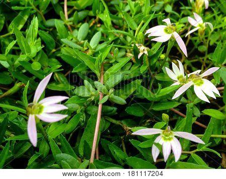 Lobelia Chinensis Lour Plant.