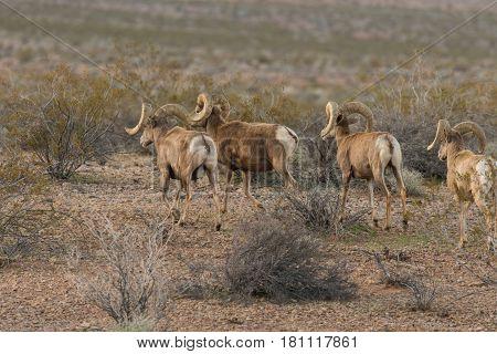 a herd of desert bighorn sheep rams in Nevada