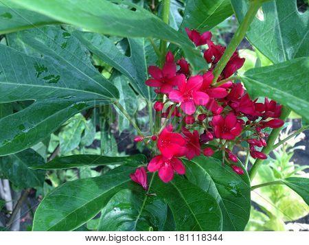 Red Jatropha Integerrima Jacq.
