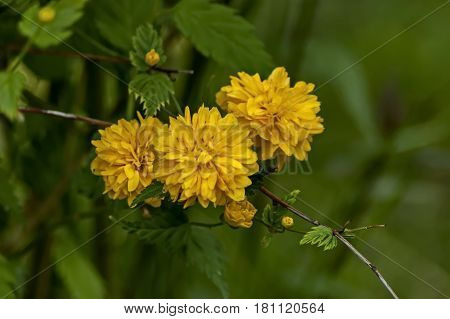 Branch  with bunch bloom and leaf of  yellow Kerria japonica at springtime in garden, Sofia, Bulgaria