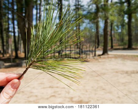 A hand holds a small branch with pine needles on a sunny day.