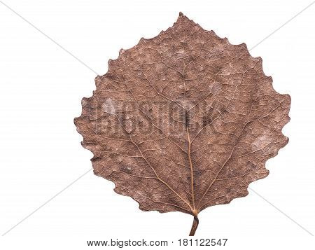 highly detailed pressed dried fall aspen leaf