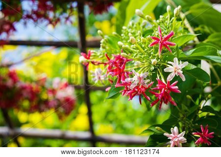Blooming Chinese honeysuckle Rangoon Creeper or Combretum indicum flowers with blurry colorful nature background