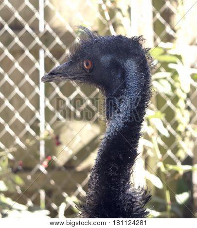 Head shot of a wary black Emu
