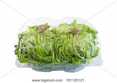 Two greenhouse grown Boston lettuce in a container