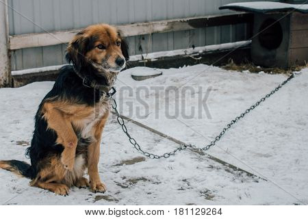 Sad yard dog on a chain with a wounded paw on the background