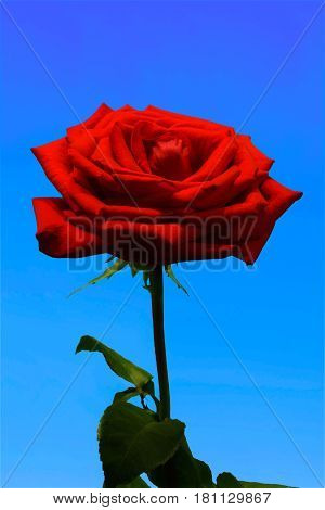 Blossoming flower Bud red rose isolated against a blue background.