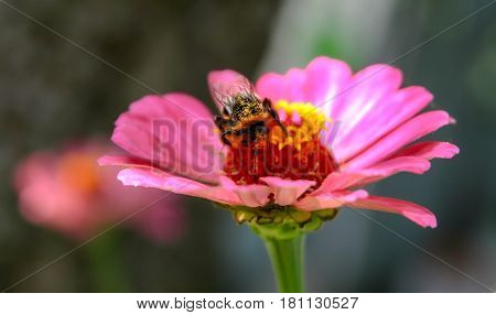 Bumble bee is sitting on a pink flower.
