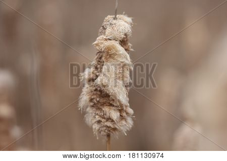 Cattail seed ready to be blown by the wind