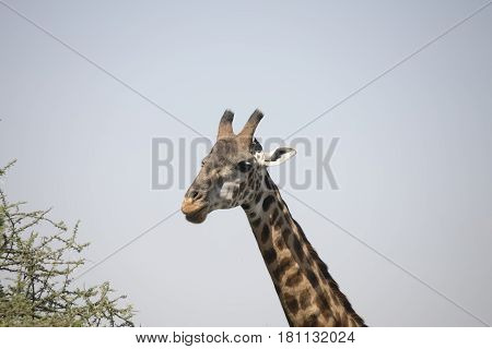 Portrait Of Giraffe In Serengeti, Tanzania