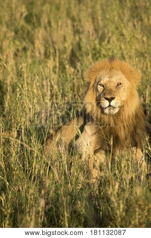 Male Lion In Tall Grasses, Serengeti, Tanzania