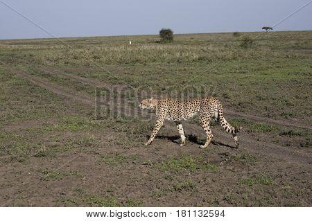 Cheetah On Prowl In Serengeti, Tanzania