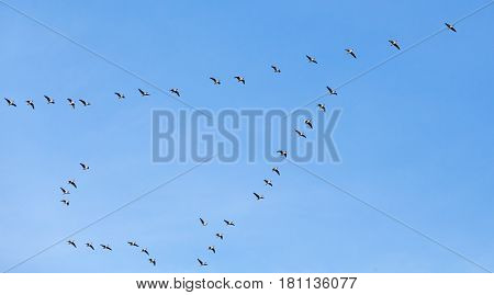 Flock Of Birds. Canadian Geese Flying In Blue Sky