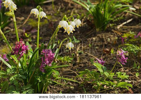 Springtime: White snowdrops on the flowerbed soft focus background