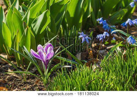 Springtime: Violet crocus on the flowerbed soft focus background