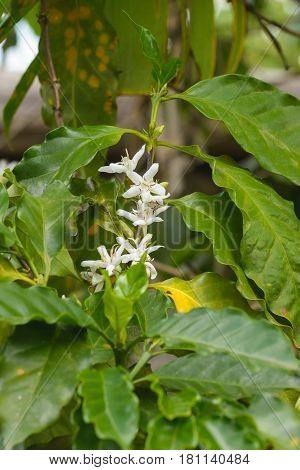White Coffee Flowers on a Coffee Plant with leafs.