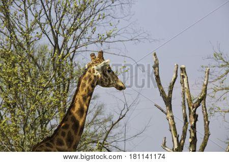 Giraffe Between The Trees