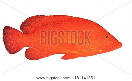 Red Coral Grouper fish isolated on white background