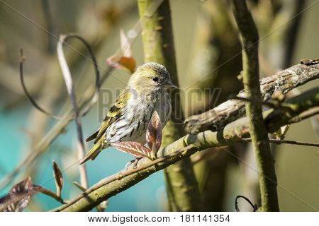 Siskin Bird Also Known As Carduelis Spinus