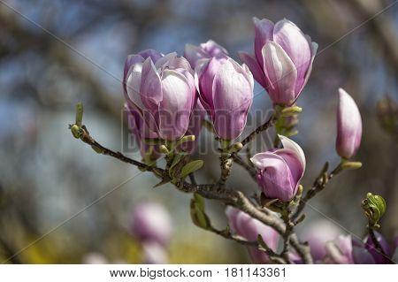 Beautiful magnolia blossoms in spring, closeup shot