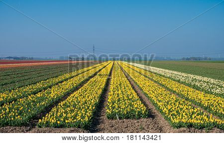 Large field of yellow tulips in Dutch countryside