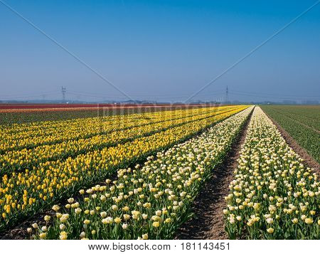 Large field of multi-colored tulips in Dutch countryside