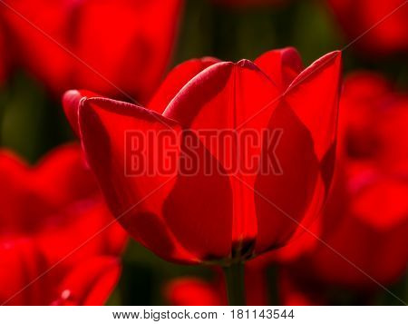 Blooming red tulip backlit by the sun