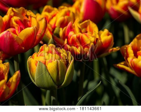 Double-flowered orange and red tulips in field